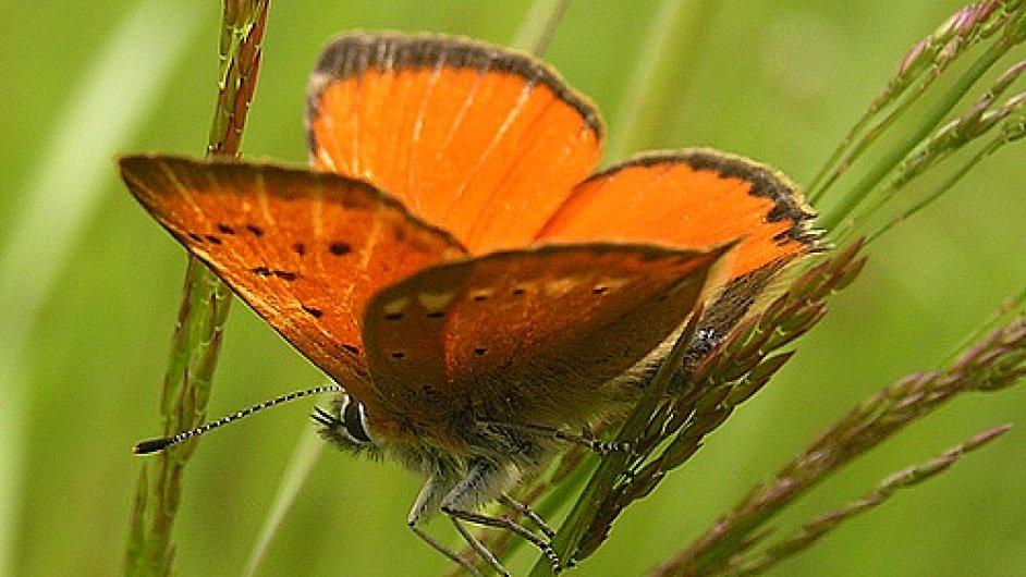 Motýl ohniváček celíkový v jedné z vykoupených lokalit