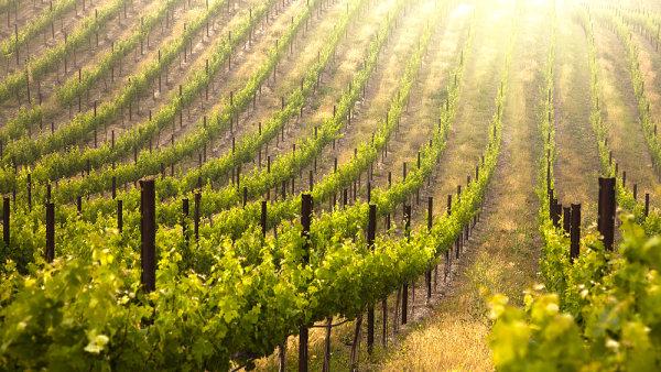 Nejlépe dopadly vinice na Znojemsku, kde jsou škody prakticky nulové - Ilustrační foto.