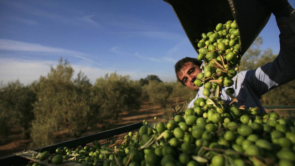 Zelené zlato: Olivy určené pro výrobu nejkvalitnějšího oleje se ze stromů nesetřásají.