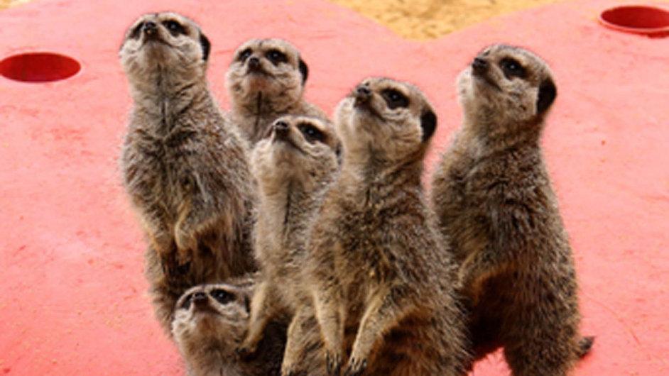 Videoaplikace Meerkat (česky surikata) vplula do digitálních vod v pravý čas – přímo během americké konference South by Southwest.