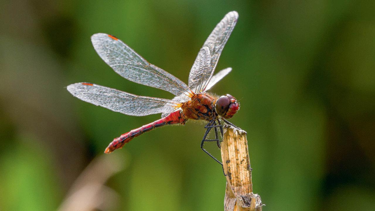 Vážka má téměř dokonalý letový aparát. Je rychlá, nevadí jí poryvy větru, a pokud přece jen do něčeho narazí, nemá to pro ni fatální následky.