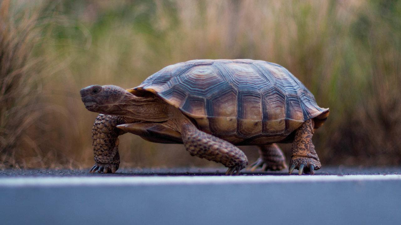 Písečná želva, jejíž druh je v Nevadě ohrožen solárním projektem.