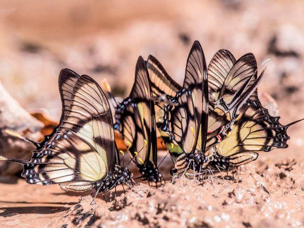 Ekvádorští motýli nasávají sůl z kapek vody.