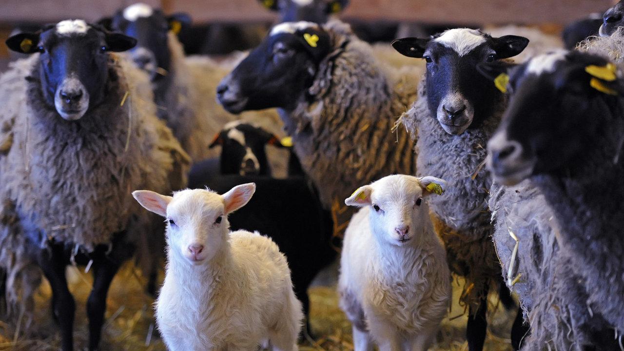 Fotogalerie: Ovce budou spásat louky