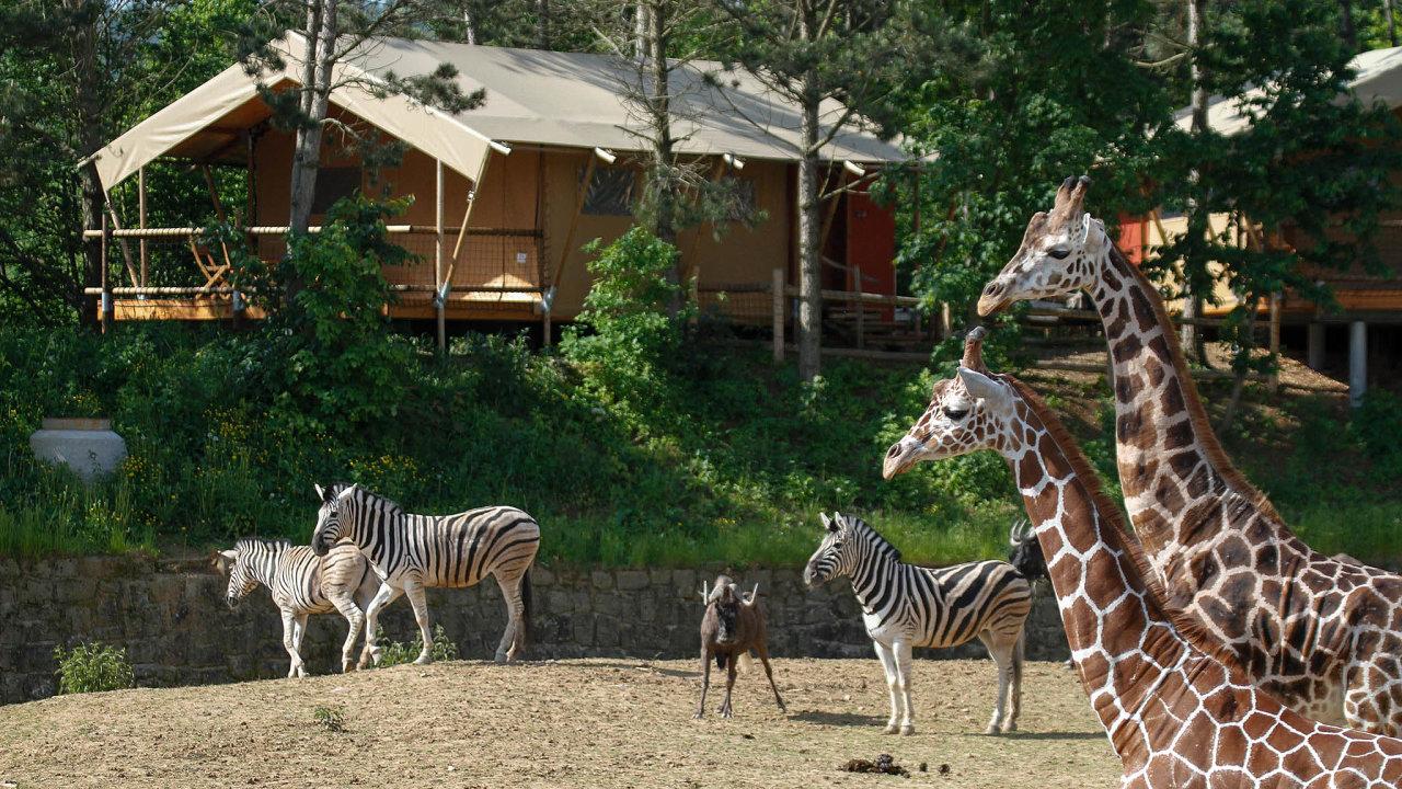 Návštěvníci resortu vZoo Dvůr Králové si mohou připadat jako naafrickém safari. Zestanů mají výhled přímo dovýběhu se zebrami, pakoni či žirafami.