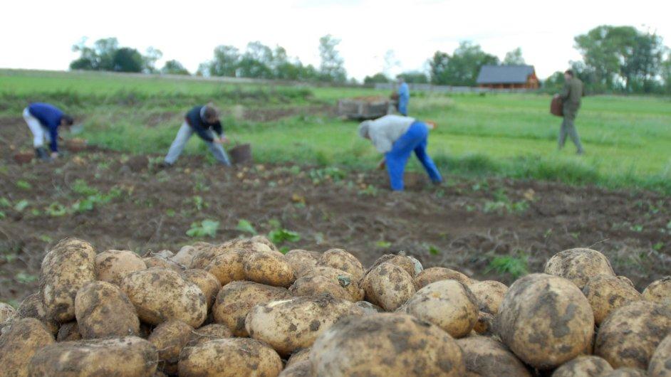 Úroda brambor v Česku kontinuálně klesá