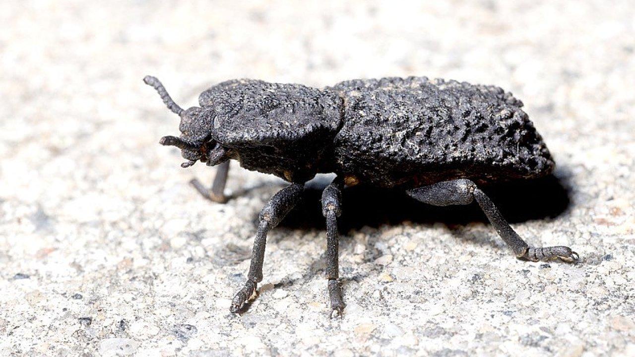 Brouk Nosoderma diabolicum přežije i přejetí automobilem.