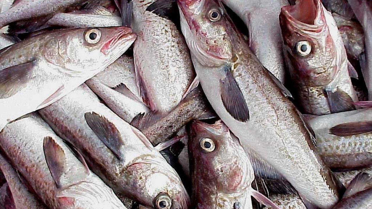 Mnohé rybí populace se kvůli intenzivnímu rybolovu ocitly na okraji kolapsu (na obr. aljašská treska).
