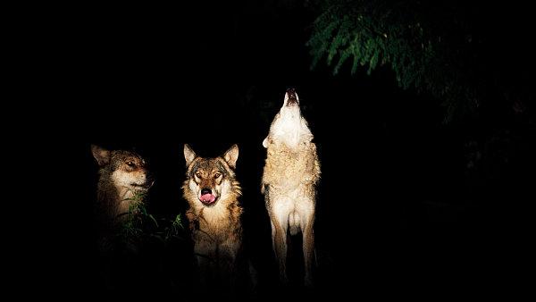 Večerní prohlídky v Zoo Praha zpestřuje vytí vlků.