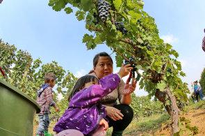 Rudá Čína pije červené víno a stává se vinařskou velmocí