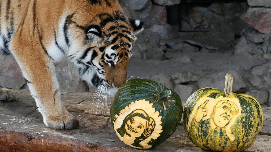Čtyřletý tygr ussurijský má ve svém výběhu v zoo v Krasnojarsku na ruské Sibiři dýně s podobiznami amerických kandidátů na prezidenta Hillary Clintonové a Donalda Trumpa.
