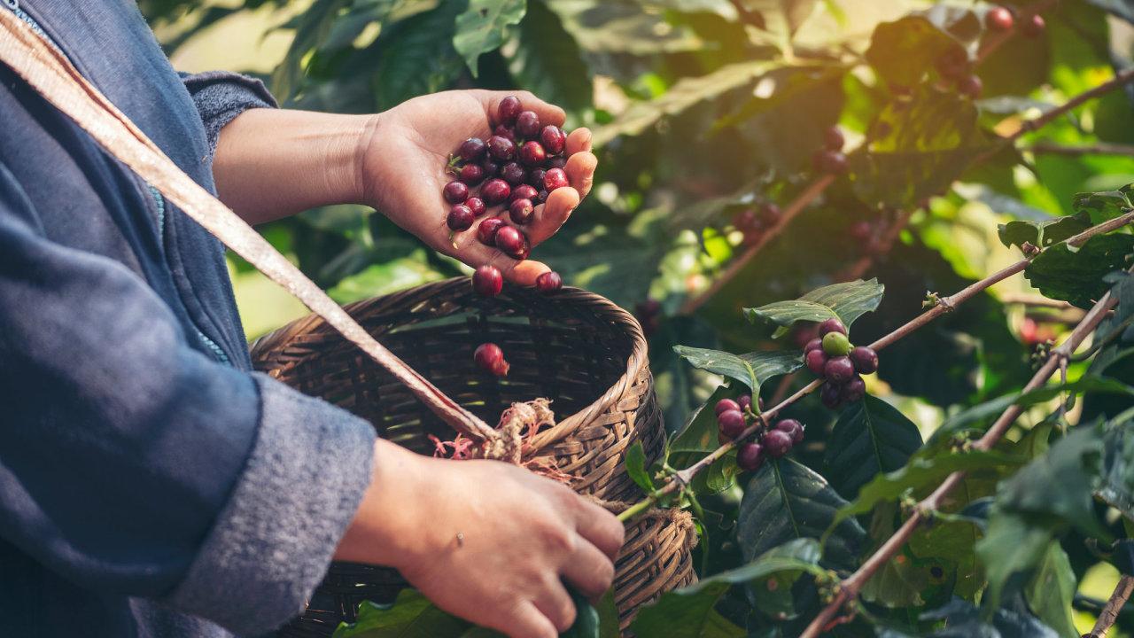 káva, sběr, plantáž