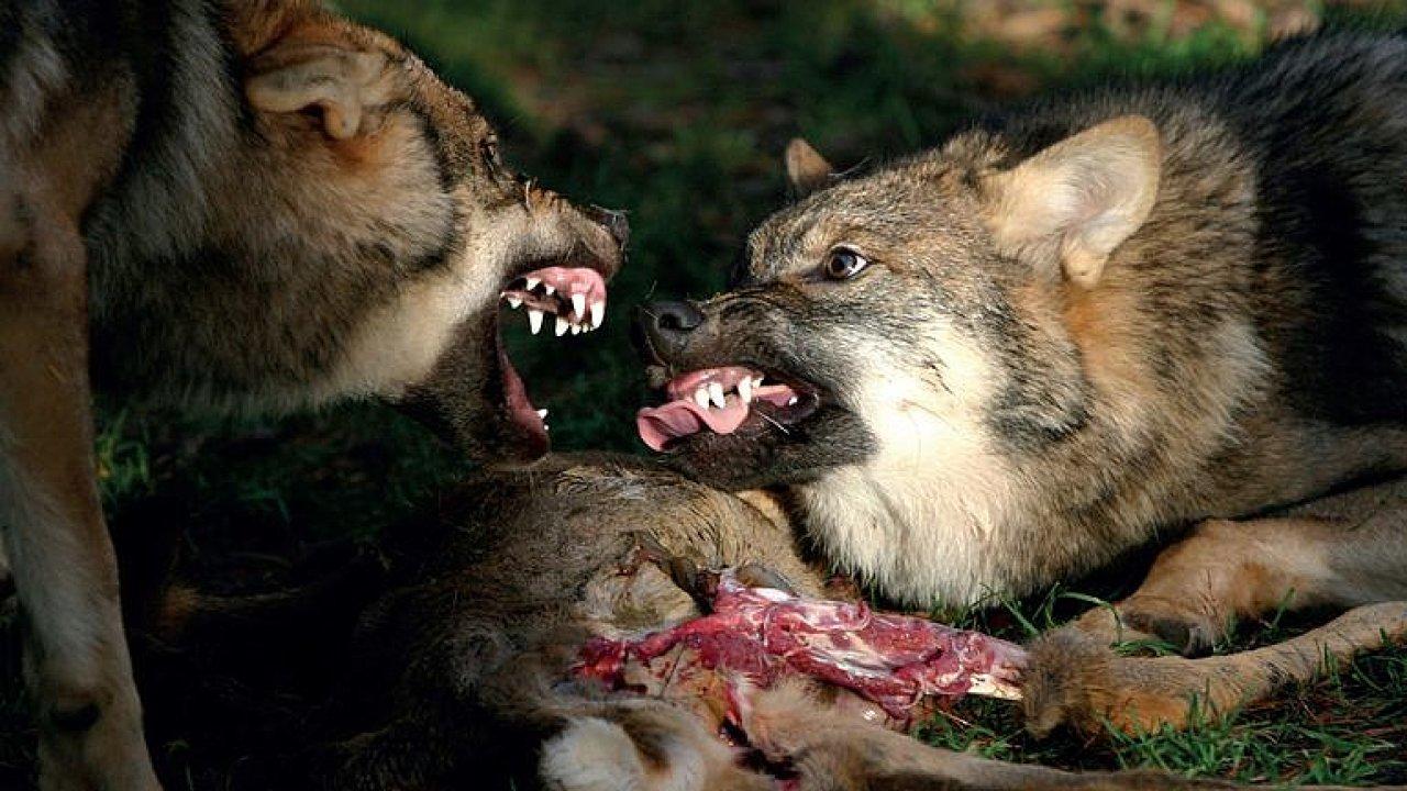 Je jen naše vina, že vlci chodí na ovce jako do sámošky, potřebujeme je, říká Askani