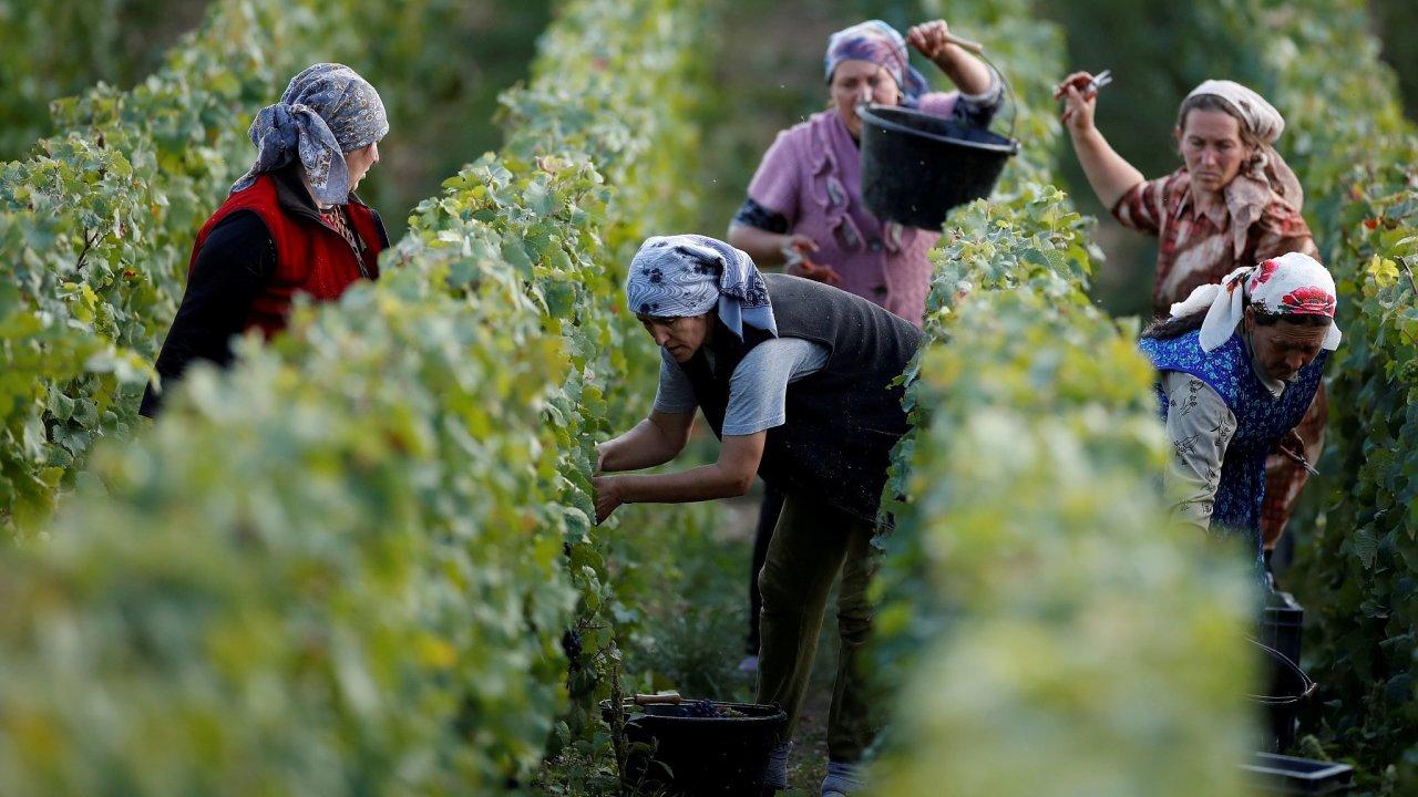 Vinice u francouzské vesnice Pierry. Místní odrůdy révy se používají k výrobě šampaňského.