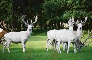 Žehušičtí bílí jeleni