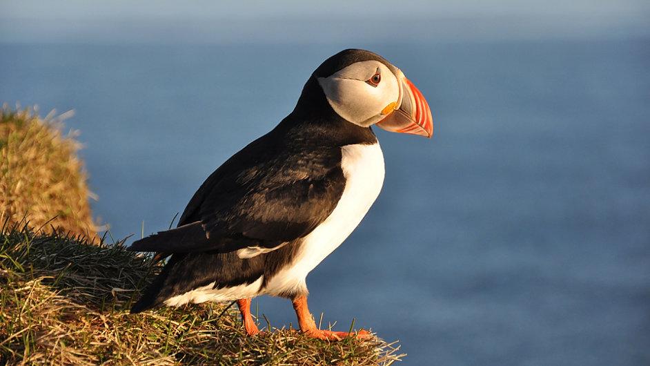 Kromě pozorování papuchalků na mořských útesech je možné ochutnat i jejich prsíčka, která patří mezi tradiční speciality.