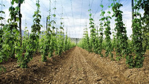 Padesát procent dostávají pěstitelé speciálních plodin - třeba chmele, vinné révy, ovoce.