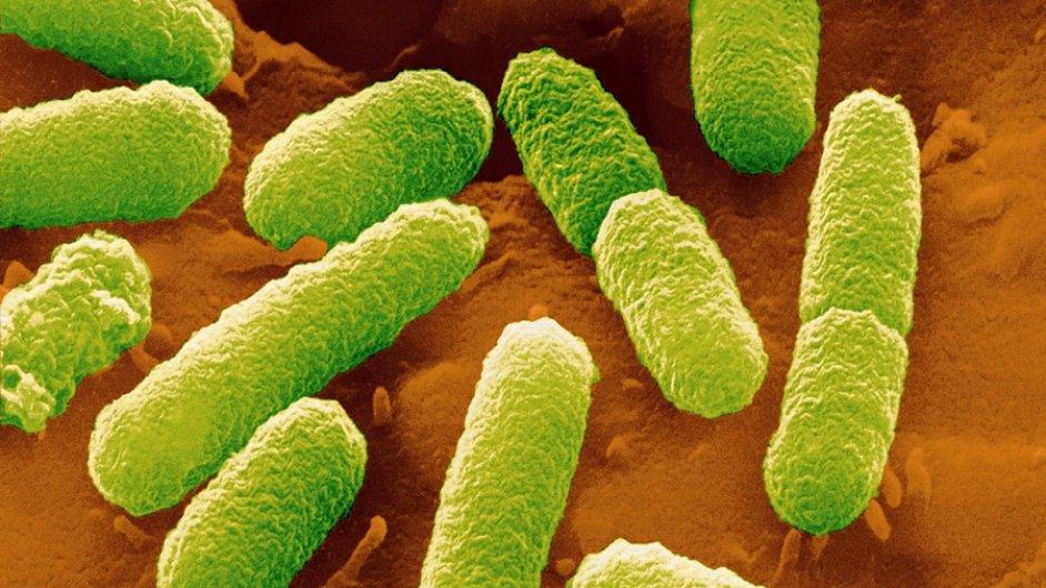 Běžná střevní bakterie Escherichia coli. Foto: Juergen Berger/MPI for Developmental Biology.