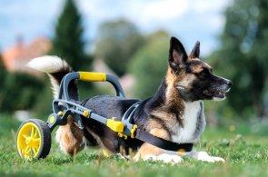 3D tisk pomáhá handicapovaným lidem a nyní i zvířatům, pro ně je určený český vozík AniGo