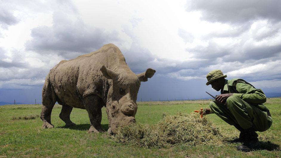 Nosorožec tuponosí severní v rezervaci Ol Pejeta
