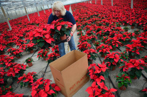 Vánoční hvězdu dali světu indiáni z Mexika. V Česku se jí ročně prodají dva miliony kusů