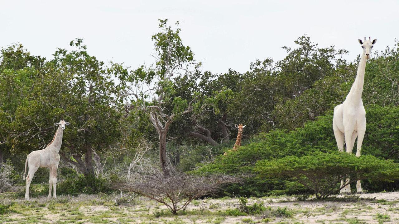 Pytláci zabili dvě vzácné bílé žirafy.