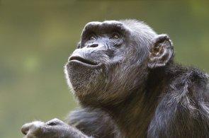 Šimpanzi rozumí vaření a preferují vařené jídlo, tvrdí vědci