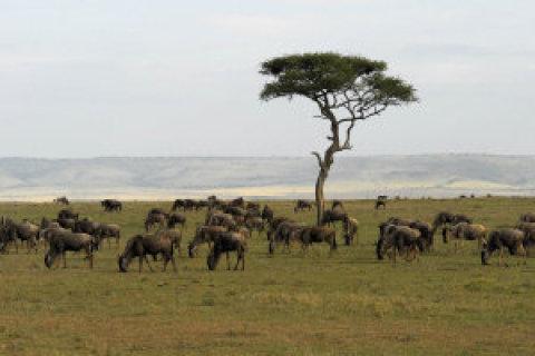 Největší atrakcí národní rezervace Maasai Mara jsou početná stáda pakoňů azeber, jež hledají čerstvé pastviny.