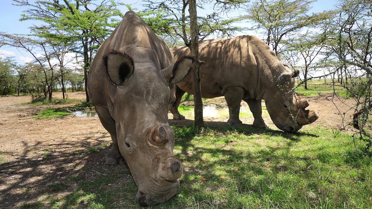 Nosorožci v rezervaci Ol Pejeta