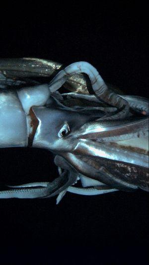 Krakatice ve svém přirozeném životním prostředí v Tichém oceánu
