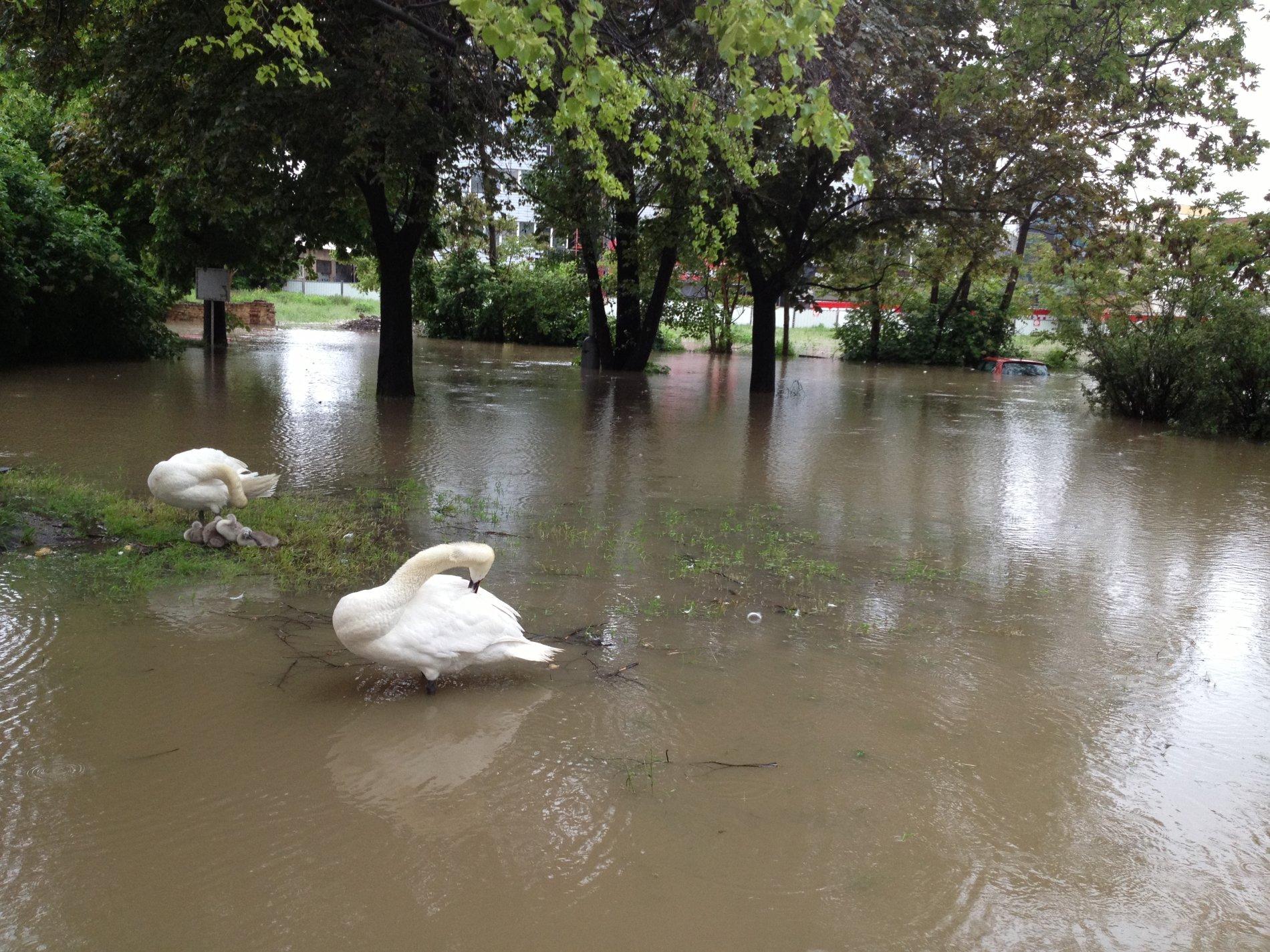 Labutě v Praze na Palmovce si plavou v parku. V zadu za nimi je vidět střecha zatopeného automobilu.
