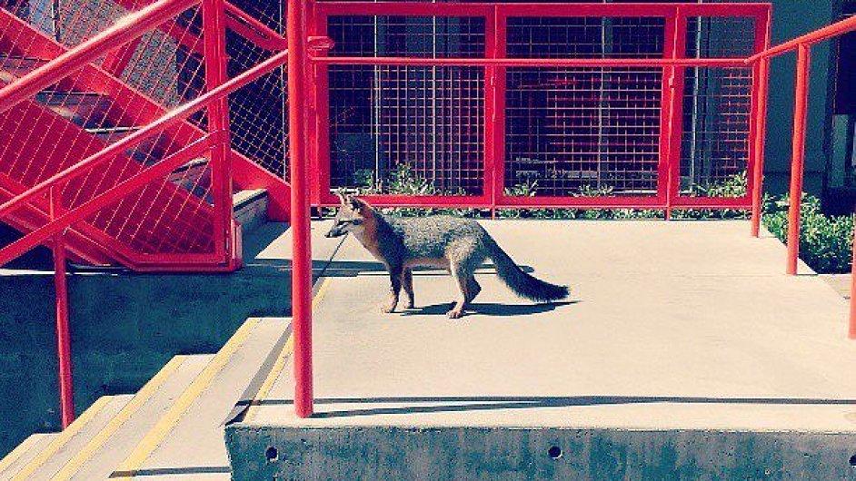 Liška v kampusu Facebooku