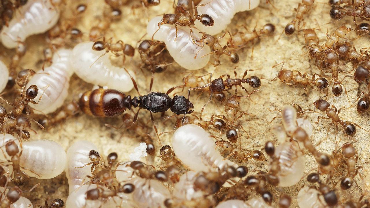 """Královna infikované mravenčí kolonie je chráněna izolačním kordonem, dělnice jej však záměrně udržují mírně """"propustný"""", aby se královnin imunitní systém seznámil sinfekcí apřipravil se nani."""