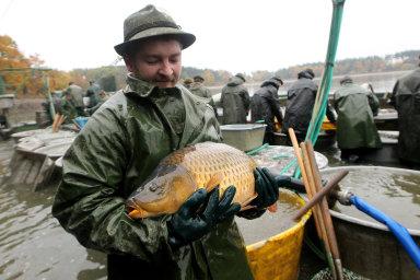 Ze sladkovodních ryb, které jsou vyprodukovány v České republice, vede jednoznačně kapr.