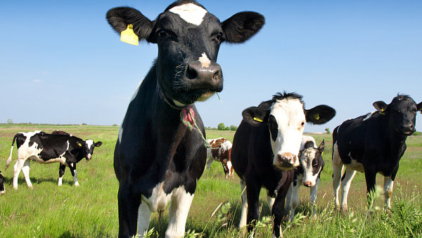 Kvůli nemoci šílených krav bylo v 90. letech zlikvidováno více než 180 000 kusů dobytka, zemřelo přes 150 lidí.