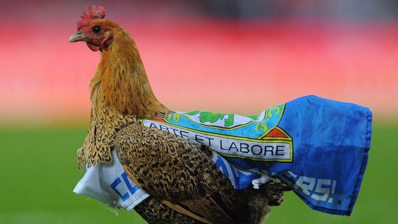 Originální protest. Fanoušci Blackburn Rovers pouštějí nahřiště slepice vklubových barvách. Majitel klubu, indická drůbežářská rodina, podle nich může za to, že to s klubem jde už dlouho z kopce.