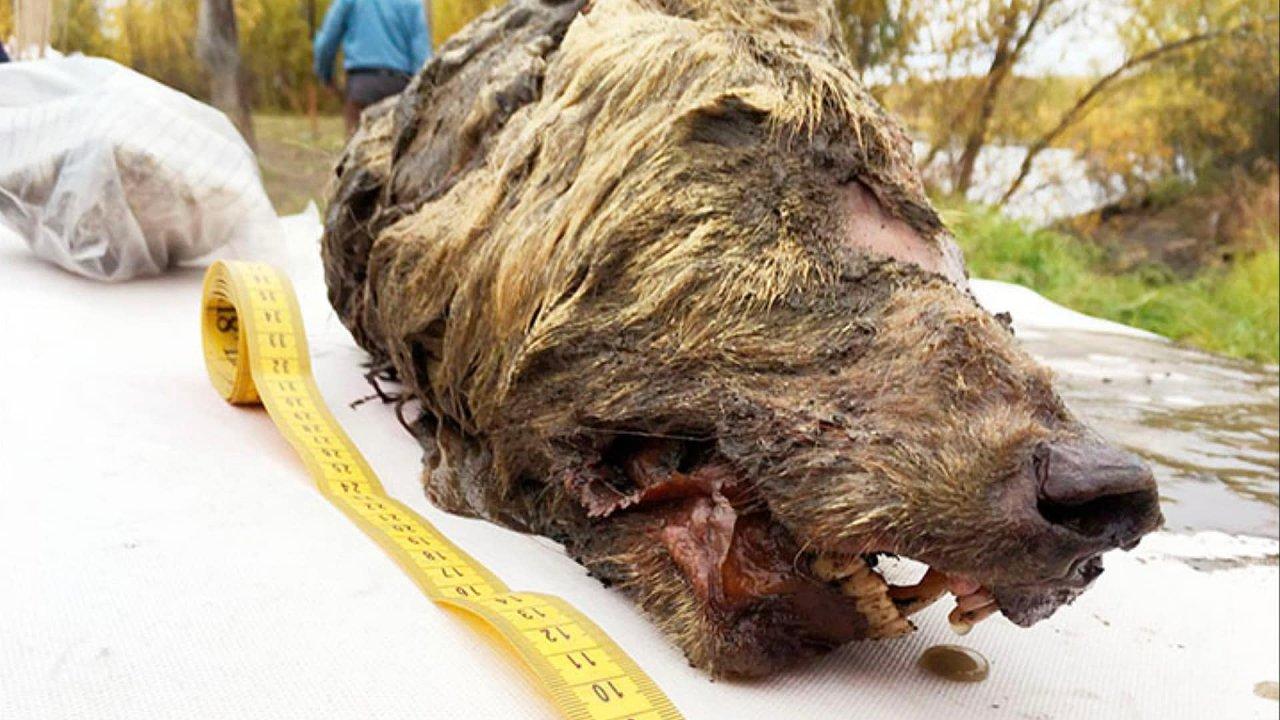 Vlčí hlava nalezená v permafrostu na Sibiři je stará 40 tisíc let. Našli ji japonští a ruští vědci.
