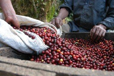 Oproti cenným kovům prochází káva opačným vývojem. Cena arabiky se letos naburze propadla nejníže odroku 2005. Důvodem je celosvětový převis nabídky nad poptávkou.