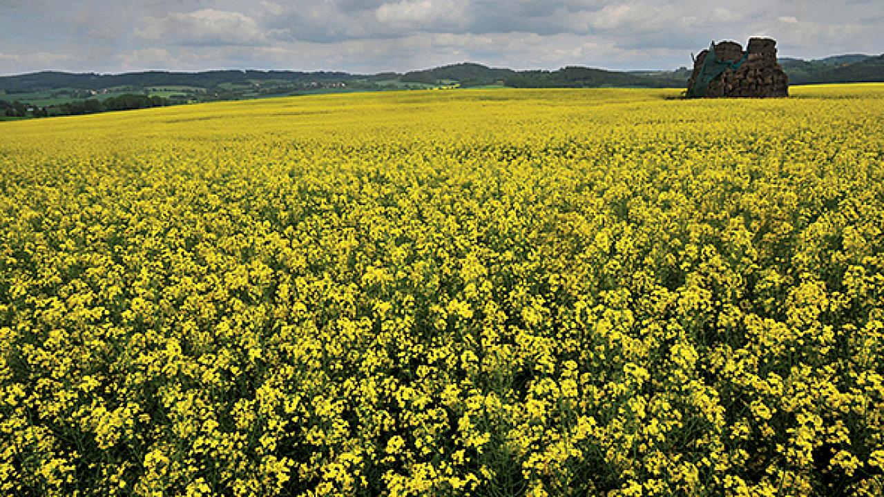Řepkové pole Zemědělského družstva Bystřice, ovládaného Andrejem Babišem (Olbramovice u Berouna).
