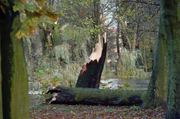 Spadlý strom v parku v centru Sokolova