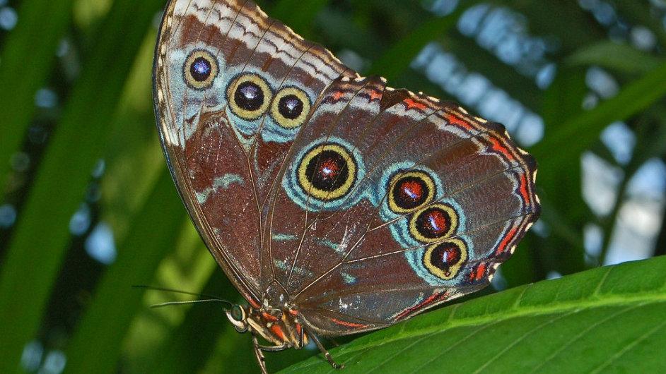 Morpho peleides. Vrchní stranu křídel má sytě modrou až tyrkysovou, ze spodní strany křídel jsou vidět úžasné ornamenty.