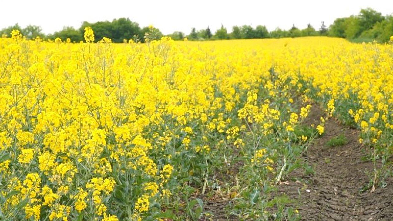 Žluté Česko? Pole s řepkou se extrémně hnojí a stříkají, půda zmrtví, čekají nás potíže, říká Hruška