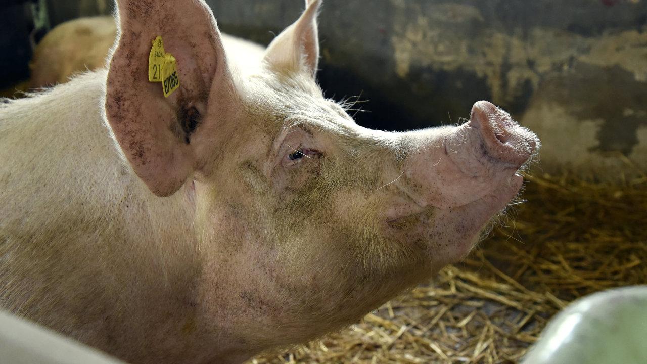 Péče o zvířata Hanu Průšovou baví. Porodnu prasat, v níž pracuje, však firma bude rušit.