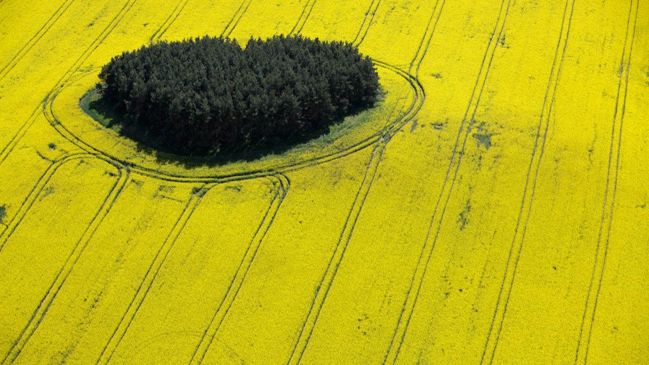 Řepka je pro české farmáře klíčovou plodinou. Její výkupní cena je dvakrát vyšší než uobilí, anavíc se nacelkových ročních tržbách zemědělců podílí ze14 procent.