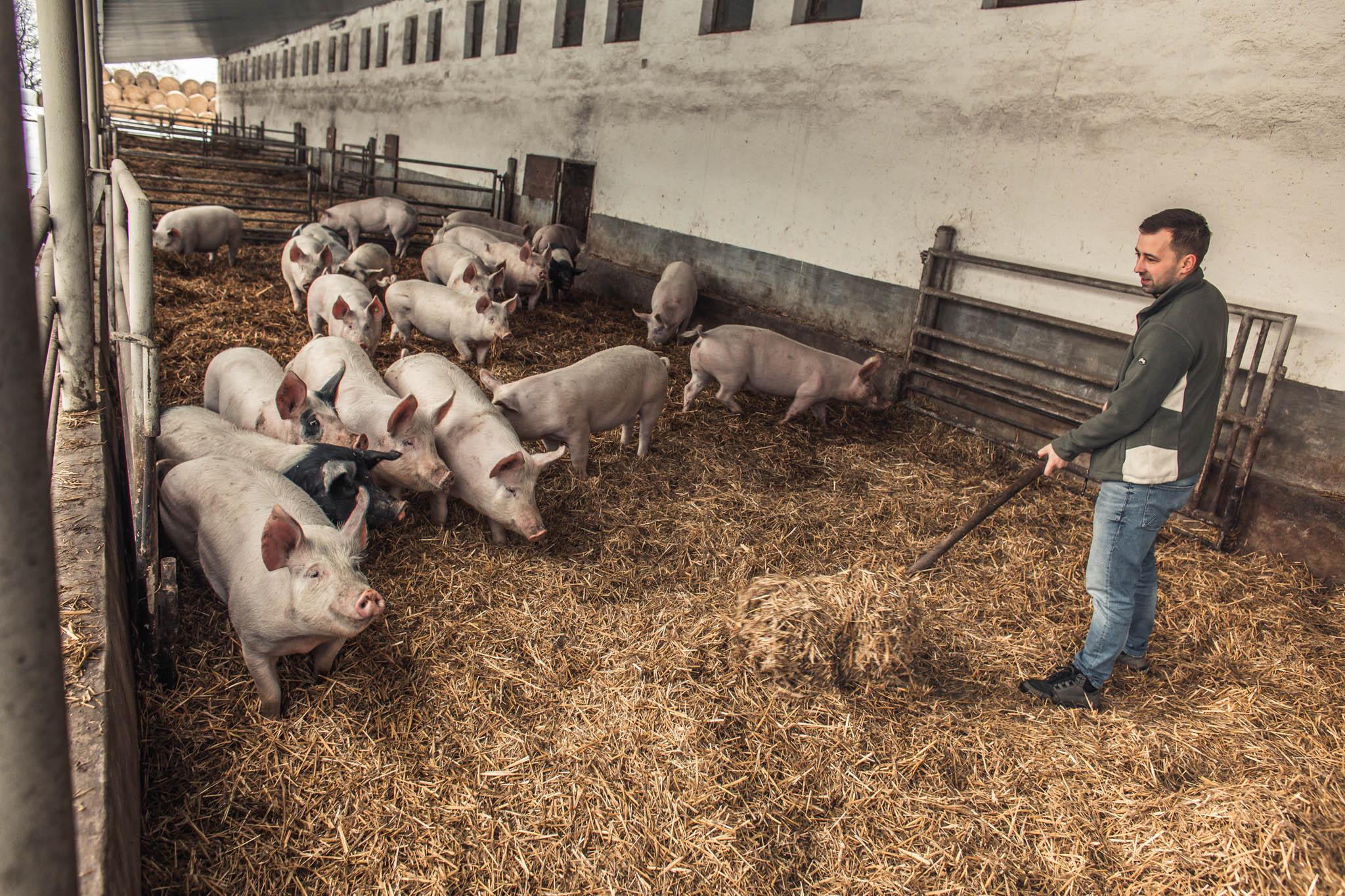 Ovolný pohyb stojí iprasata. Proto se farmáři snaží vyhnout například fixačním klecím pro prasnice poporodu. Zatímco zákon dovoluje čtyři týdny, ekofarmáři využijí maximálně pár dní. (tamtéž)