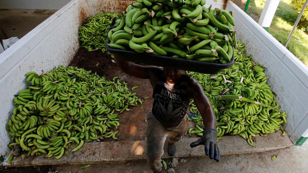 Sklizeň banánů: V Kolumbii napadla banánovníky nebezpečná plíseň zvaná panamská nemoc.