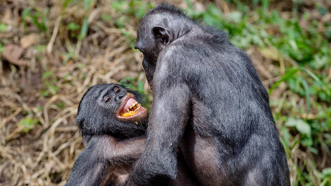 Paradoxní je, že knejmírumilovnějším živočichům patří ijeden zedvou nejbližších příbuzných člověka: šimpanz bonobo. Žije v matriarchátu a došlo u něj knápadnému potlačení agresivity.