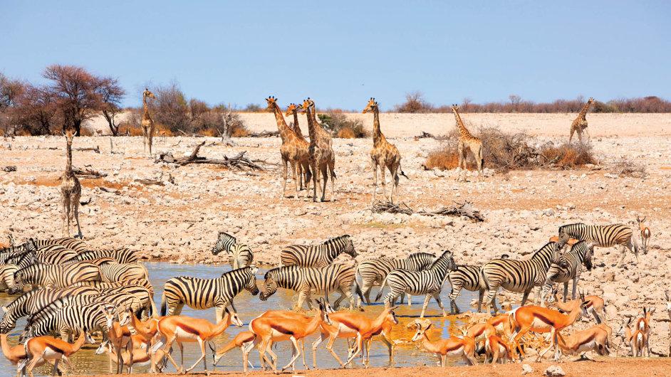 Žirafy, zebry a gazely v národním parku Etosha