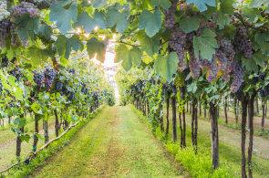 Francouzské vinice vážně poškodily jarní mrazy a krupobití. Vína bude málo, ale bude kvalitnější