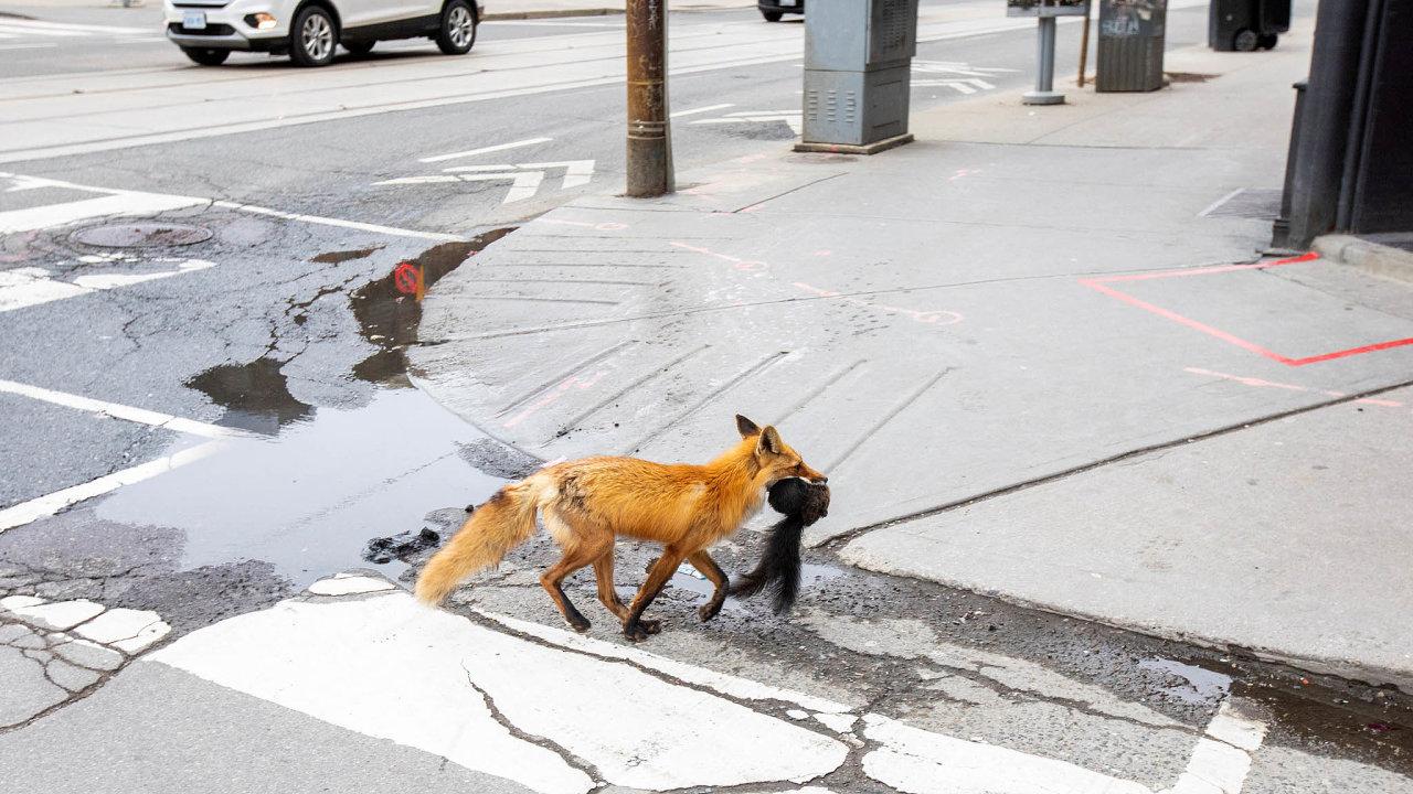 Ztichlá civilizace přilákala divoká zvířata doulic měst, například po kanadském Torontu se procházela liška a lovila holuby.